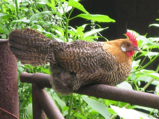 chickens-goldencampinehen002small