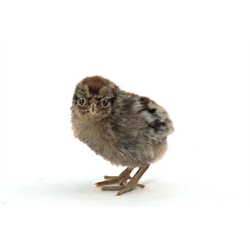 chicks_golden_campine3