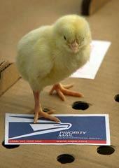 060525-mail-chickens_170