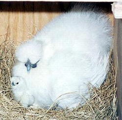 Broody Silkie with chick