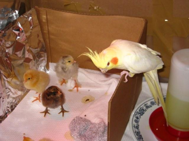 chicksmeetbirdie
