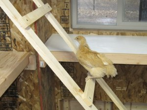 The CE made custom chicken ladders