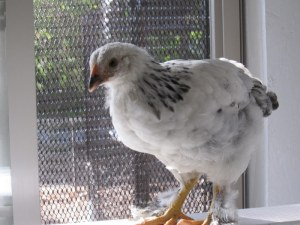Amelia does her seagull imitation in hopes that we'll let her out - the feathered feet are a dead giveaway, though.