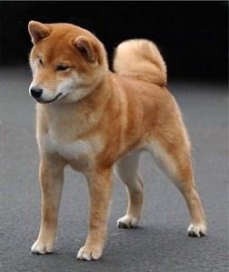 Shiba Inu (pix from www.Juth.com)