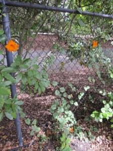 "Thunbergia alata, ""Black-Eyed Susan Vine"", growing like a weed, thanks to chicken fertilizer"