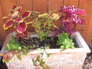 Coleus, Sedum and trailing Fuschia