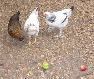 Autumn, Lily and Amelia consider the apples while Hope hides in the coop.