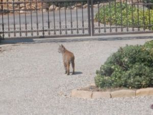 That, folks, is a bobcat in the driveway!