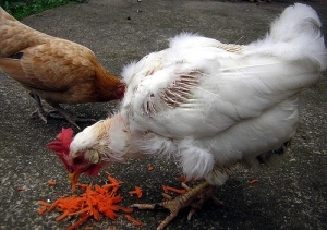 molting chicken