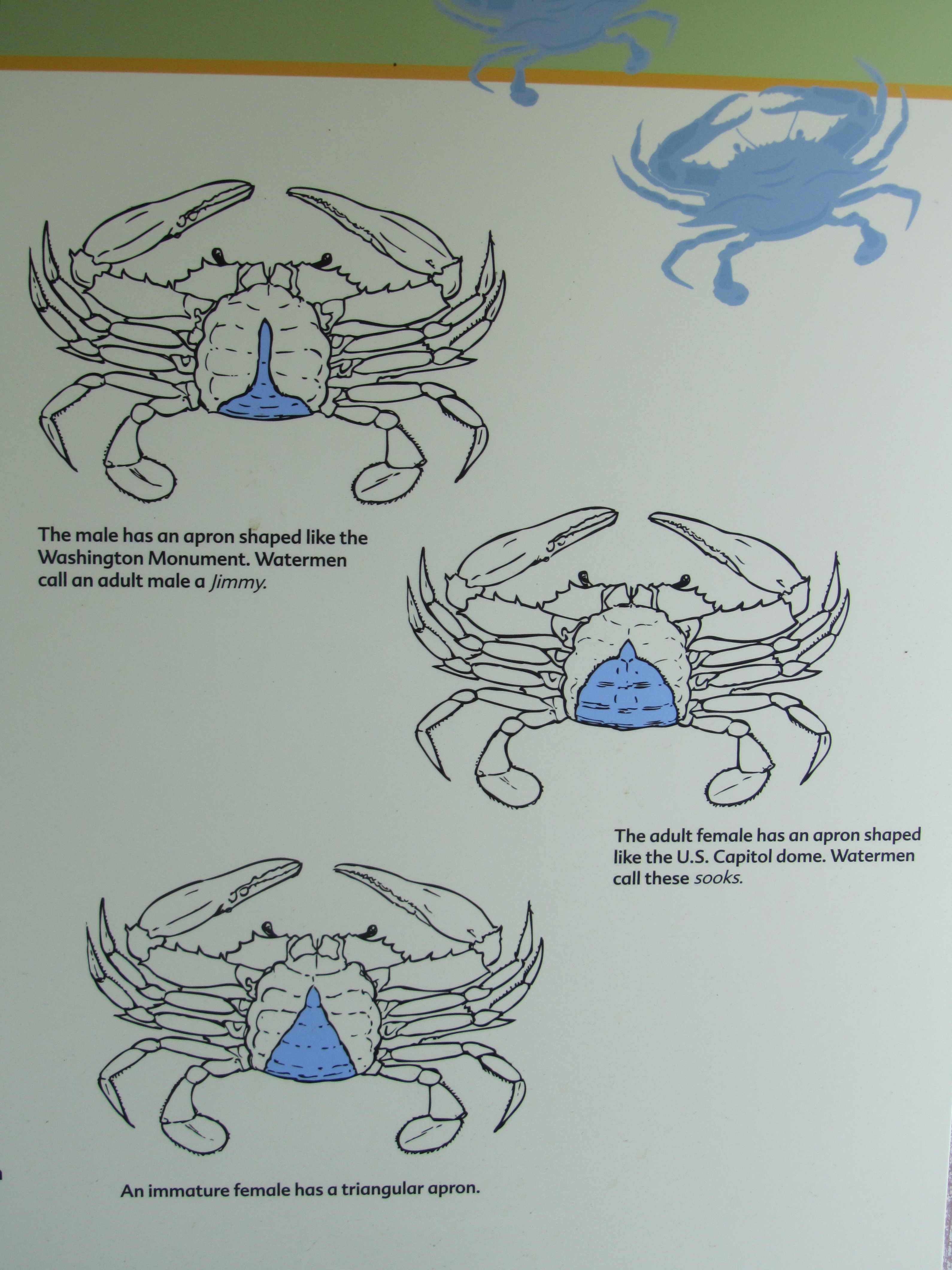 How to tell the sex of a blue crab