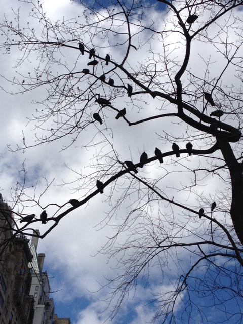 Brrrrrrds: pigeons huddle in the bare branches on Central Park South (polloplayer photo)