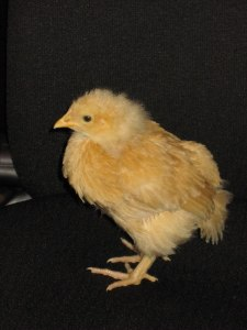 Hope as a pullet back in 2009