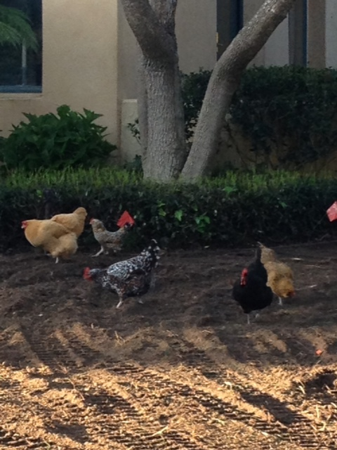 "My ""dirt piles r us"" hens"