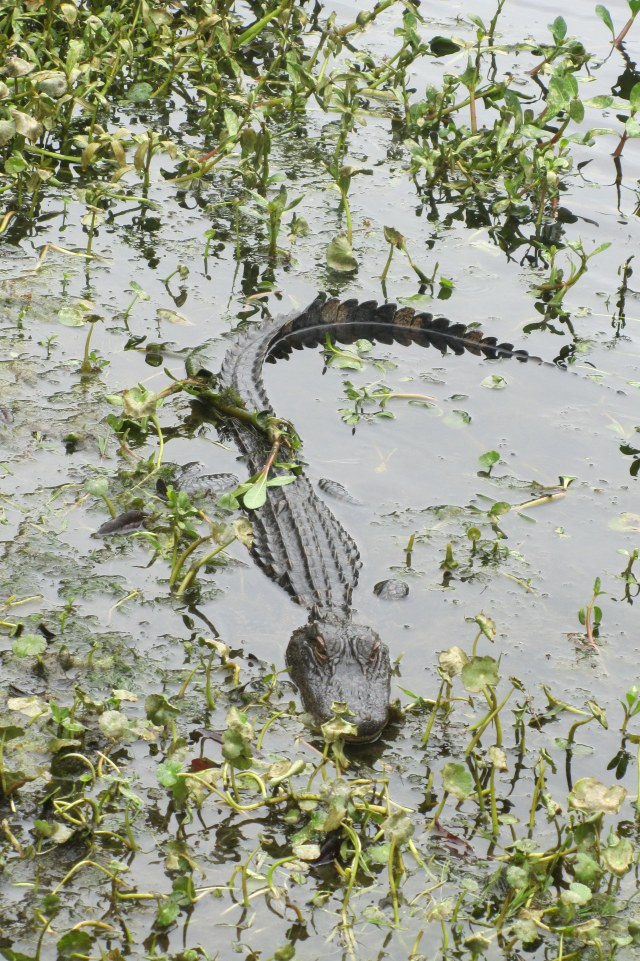 In South Carolina, where you have a pond, you most likely have a gator to greet you.