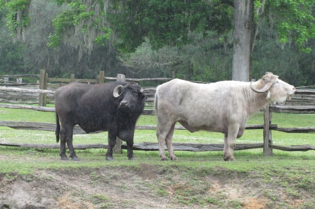 The first water buffalo to come to the US were shipped from Constantinople (Istanbul) to Middleton Place.