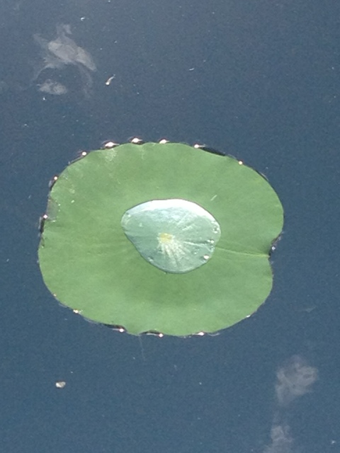 Lily pad at the Garden pond (polloplayer photo)