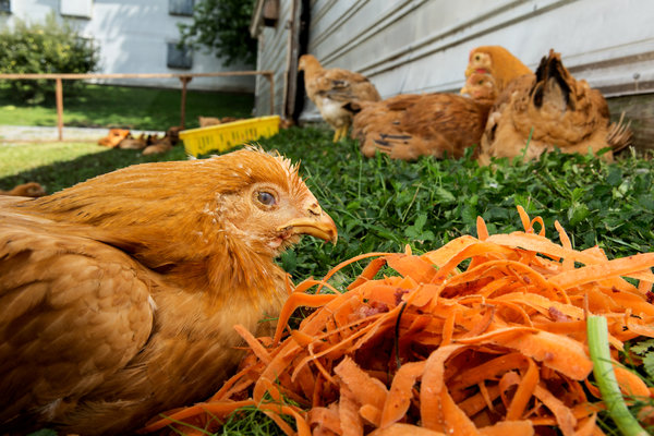 Dinner is served: hens on a Pennsylvania farm dine on scraps from high-end NYC restaurants. (image from nytimes.com)