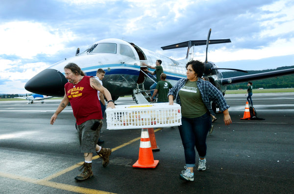 Rescued hens from Hawyard, CA are ferried from their charter flight to safekeeping in Elmira, NY. (image from nytimes.com)