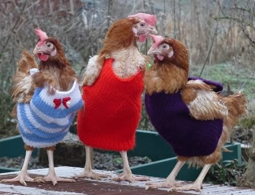 What the fashionable chicken will be wearing this fall. Just so you know. (image from poultrybookstore.blogspot.com)