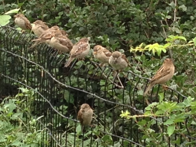 I loved seeing this sparrow convention in Central Park