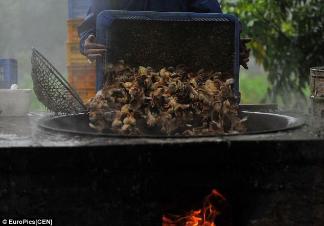 Baby chicks being boiled alive following a bird flu scare in China last May. (image from  dailymail.uk)