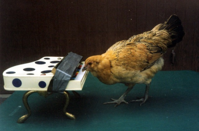 Okay, so my hens don't play piano. But they could if they wanted to! (image from animal actors.net)