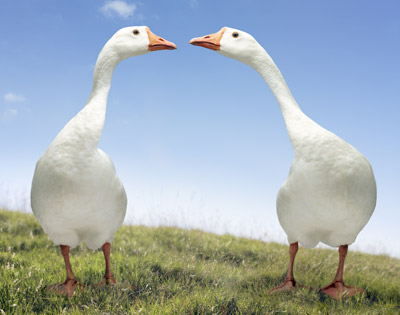 Did you know that geese mate for life? (image from animal.discovery.com)