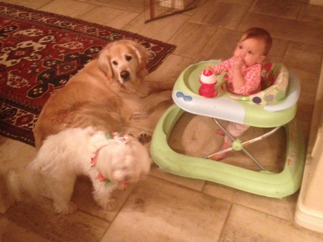 """Christmas for the dogs entailed lots of treat """"gifts"""" from Caleigh."""