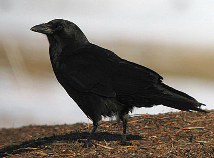American crow (image from allaboutbirds.org)