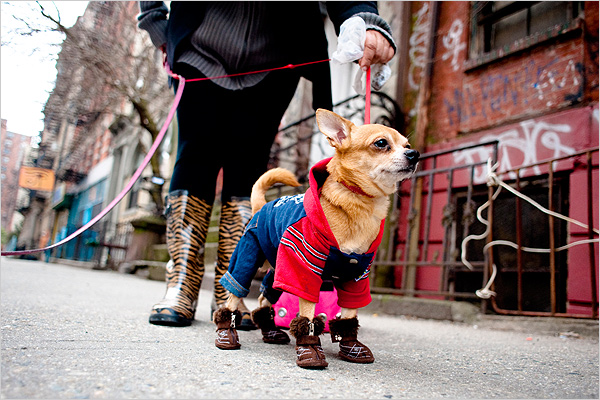 The dogs are decked out for winter in the city. (nytimes image)