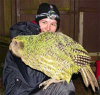 A New Zealand researcher with a kakapo. Do you think the CE would let me have one? (image from massey.ac.nz.)