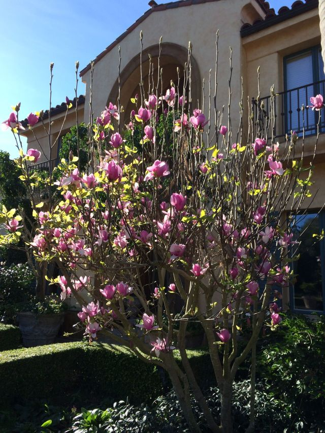 February in SoCal means the magnolias bloom.