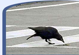 A carrion crow in Japan takes advantage of a red light to place a walnut in front of waiting traffic. (image from pbs.com)