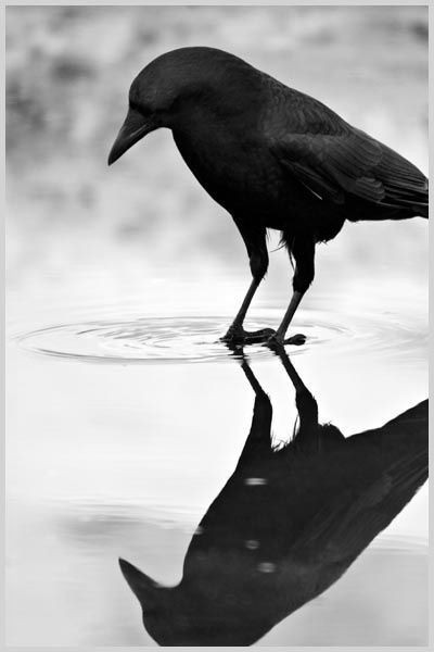 A crow ponders its reflection (image from solitarywolftmblr.tumblr.com)