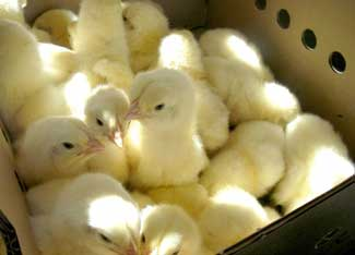 Nothing says spring like a mail-order box of baby chicks! (image from motherearthnews.com)