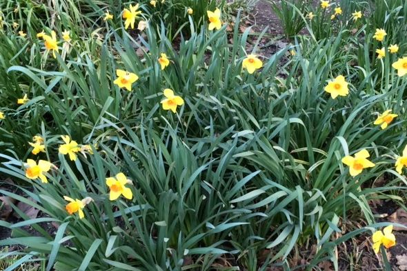 Welcome sign of spring! Daffodils in Madison Square Park.