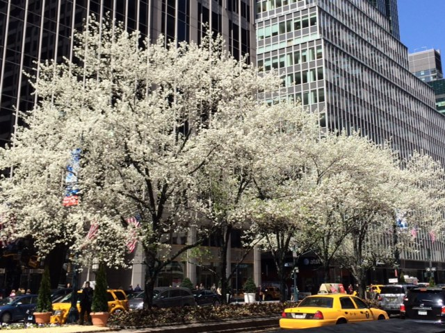 Trees like these on Park Avenue are in bloom all over the city.