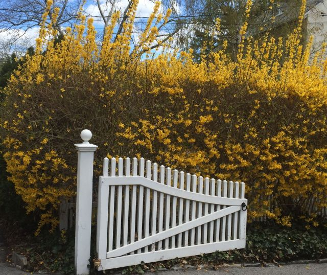 I love the forsythia! We saw this hedge abloom in Bronxville.