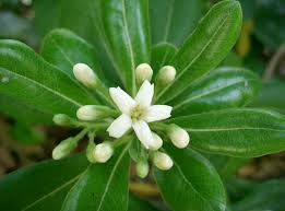 When the pittosporum blooms in January, my allergies kick up. (image from wikimedia)