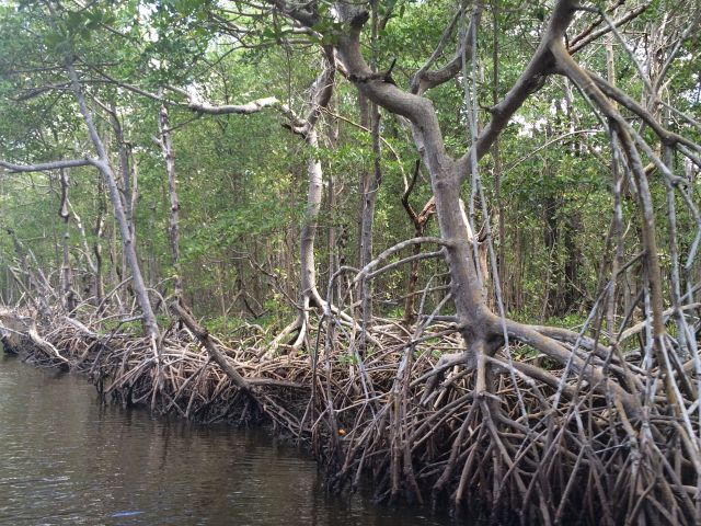 We saw plenty of mangroves on our airboat tour.