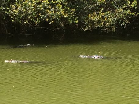 Lots of gators on Turner River Road