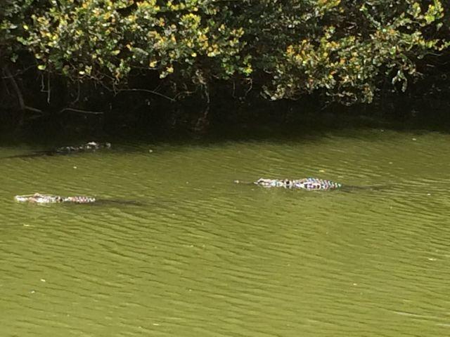 Lots of gators on Turner River Road