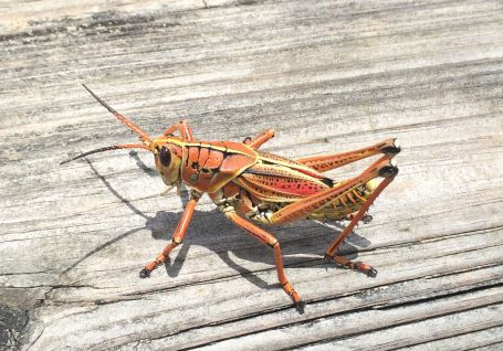 Wish I could have brought this lubber grasshopper home for my hens!