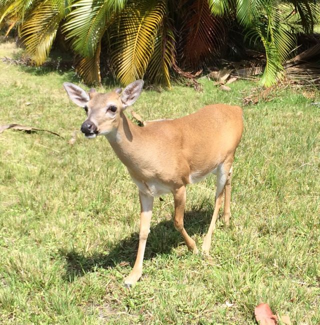 Look what we found! Key deer were once endangered but the population has now stabilized.