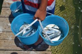 It's bait at the Marina, but maybe it's lunch next door? (image from pineislandangler.com)