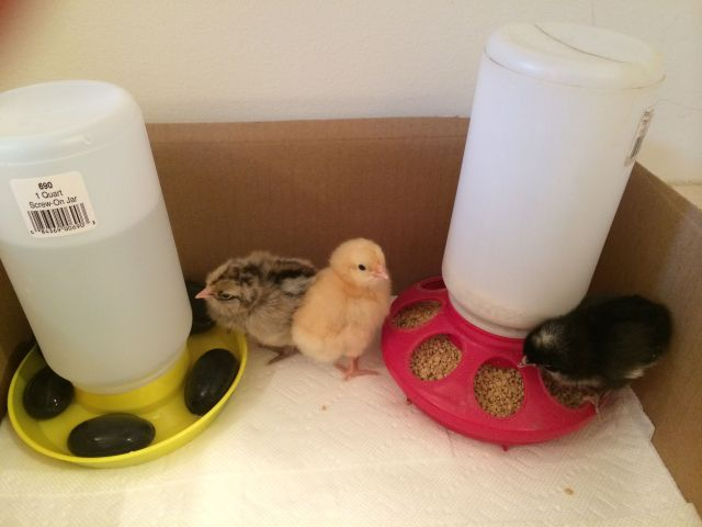 Those are rocks in the water trough to assure that newborn chicks don't fall in and drown.