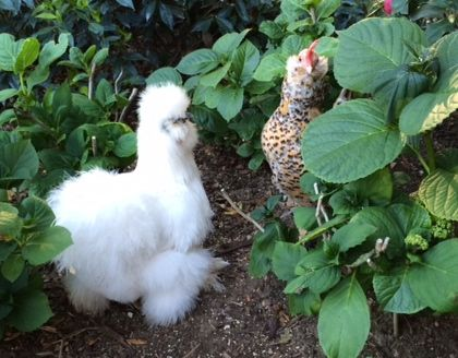 Just us chickens: Luna and Pippa