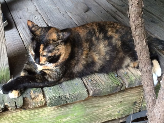This calico was one of the few cats willing to greet guests to the Hemingway Home and Museum.