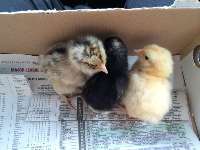 First baby pic! L to R, the Ameraucana, Barred Rock and Buff Orpington. They are two days old.