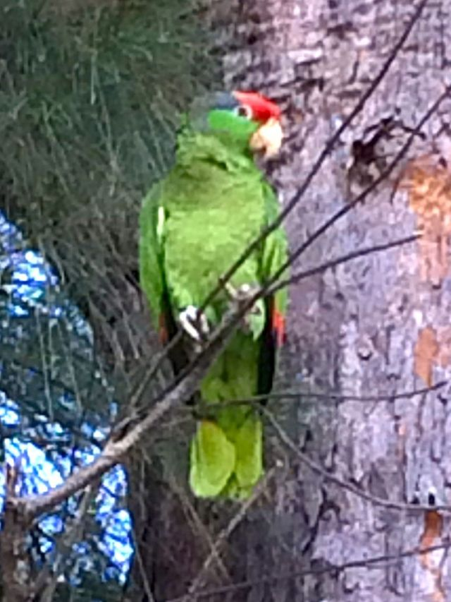 We found this Green Cheek Amazon Parrot in an Australian Pine in the Breakers' employee parking lot one morning.